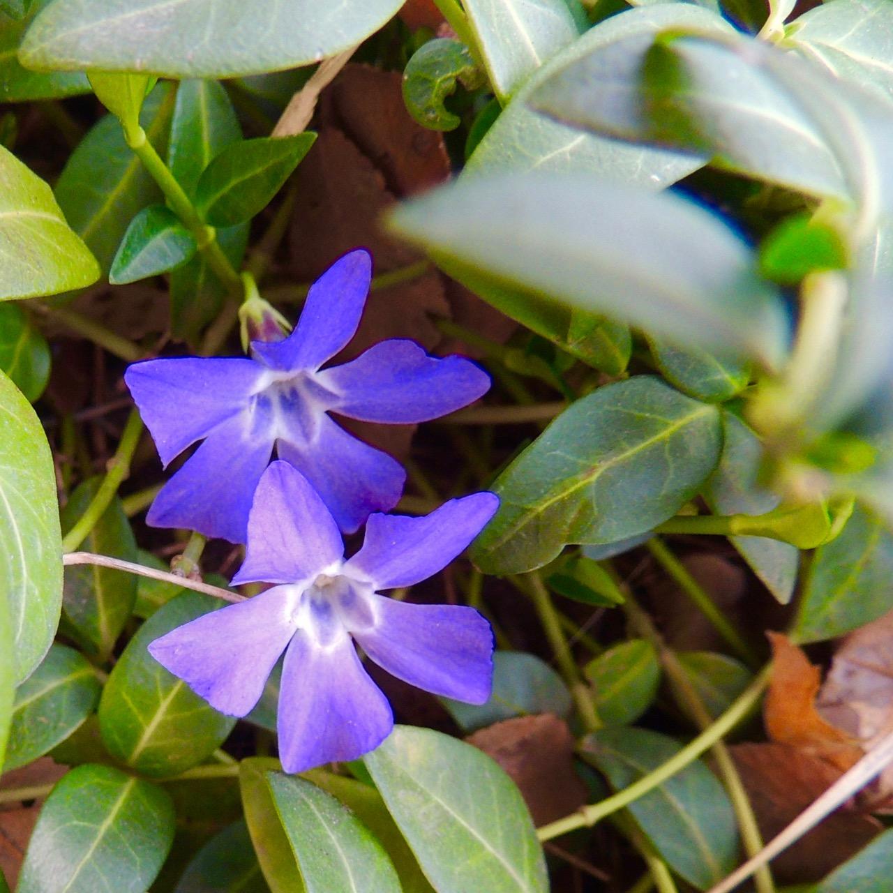 Violets-upclose