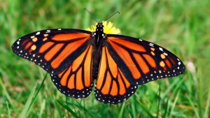 monarch-butterfly-grass